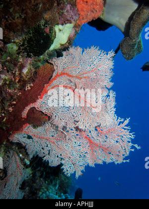 Fan Coral Agincourt Reef Great Barrier Reef North Queensland Australia - Stock Photo