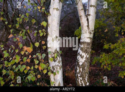 Two silver birch tree trunks with foliage - Stock Photo