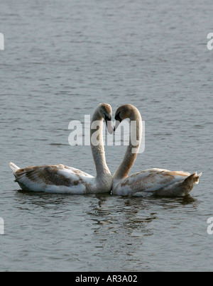Two Mute Swans forming the shape of a heart with their necks - Stock Photo