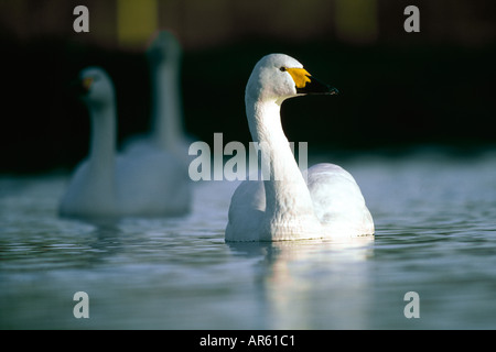 Bewick s Swan Cygnus columbianus Slimbridge UK winter - Stock Photo