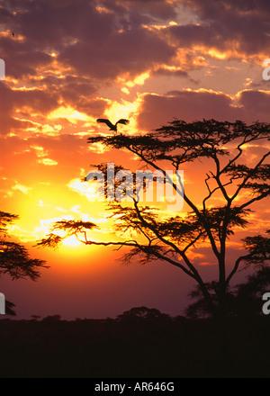 Maribou stork (Leptoptilos crumeniferus) in Acacia Tree at Sunset in the Serengeti National Park, Tanzania, Africa - Stock Photo