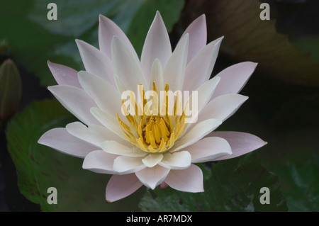White Nymphaea water lily blooming in late November Luang Prabang Laos - Stock Photo