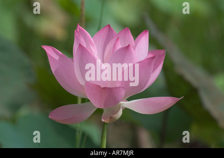 Blooming pink lotus flower in Novemer Banteay Srei, Angkor Cambodia - Stock Photo