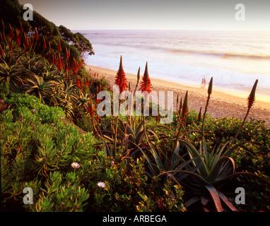 Aloe Vera Garden Laguna Beach Orange County California USA - Stock Photo