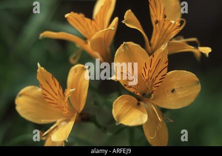 Peruvian lily, Golden lily-of-the-Incas, Golden Lily of the Incas (Alstroemeria aurea), flower - Stock Photo