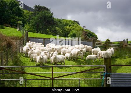 Sheep in pen, Wales UK - Stock Photo