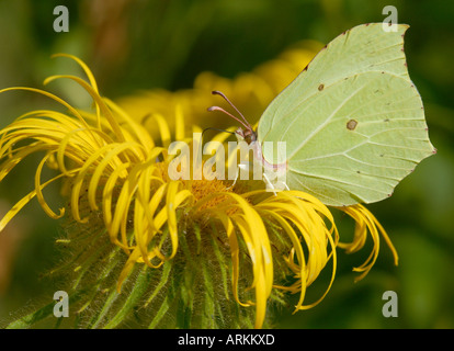 A male Brimstone Butterfly Gonepteryx rhamni feeds on a yellow Inula hookeri flower - Stock Photo