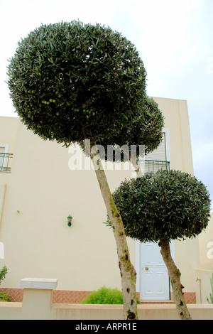 Artistic shape round cut olive trees in suburbia Silves Algarve Portugal - Stock Photo