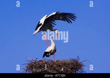 White Stork Ciconia ciconia pair on nest mating Rust National Park Lake Neusiedl Burgenland Austria April 2007 - Stock Photo