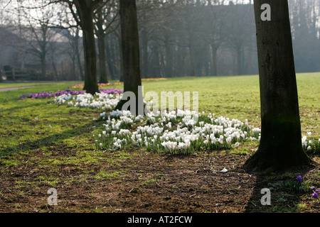 multicolour crocuses Iridaceae growing on parkland amongst trees on misty day in springtime - Stock Photo