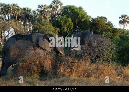 African elephant loxodonta africana eating at Tubu tree safari camp in Okavango Delta Botswana southern Africa - Stock Photo