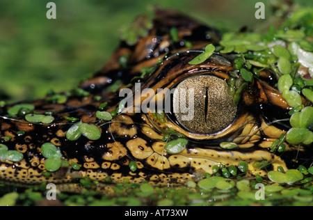 American Alligator Alligator mississipiensis young in duckweed camouflaged Welder Wildlife Refuge Sinton Texas USA - Stock Photo