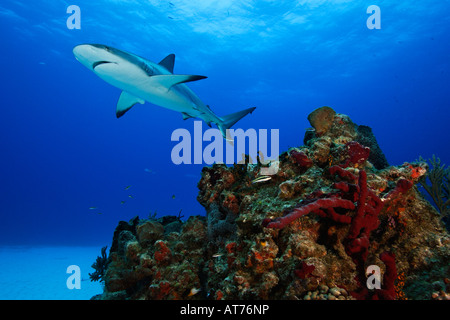 pa0536-D. Caribbean Reef Shark, Carcharhinus perezi. Bahamas, Atlantic Ocean. Photo Copyright Brandon Cole - Stock Photo