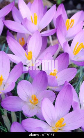 Crocus spring flowers Crocuses C tommasinianus Whitewell Purple early spring flowering dwarf bulbous plants UK - Stock Photo
