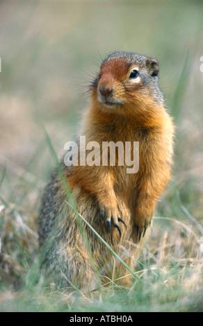 Columbia Ziesel Columbian Ground Squirrel Citellus columbianus Authentic wild Jasper NP Alberta Kanada Canada - Stock Photo