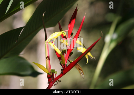 Red and yellow flowered plants Flora in Aguas Calientes Peru - Stock Photo