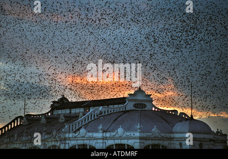 At twilight more than 50,000 starlings descend on the West Pier at Brighton to roost for the night - Stock Photo