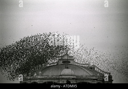 Thousands of starlings flock together and swirl like a wisp of smoke as they land on Brighton s derelict West Pier. - Stock Photo