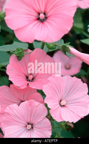 Mallow / Malve - Stock Photo