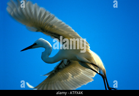 Grande aigrette en vol madagascar Casmerodius albus Silberreiher Common Egret Egretta alba Casmerodius albus Alone - Stock Photo