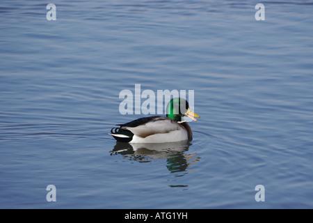 Male mallard (Anas platyrhynchos) on lake - Stock Photo