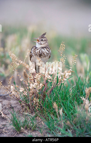 Crested Lark - Stock Photo