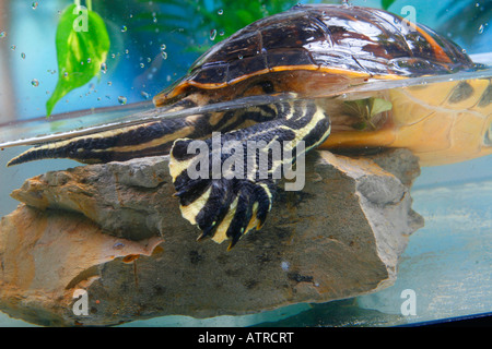 Florida Redbelly Turtle - Stock Photo