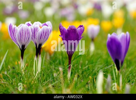 Crocus flowers (Crocuses / Croci) growing in a lawn - Stock Photo