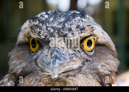 The tawny frogmouth, Podargus strigoides, is a well camouflaged owl in their native woodland habitat, Australia. - Stock Photo