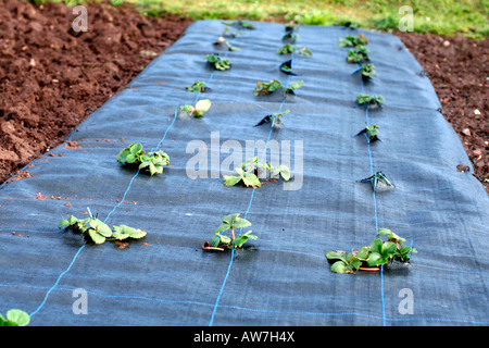 GROWING STRAWBERRIES THROUGH A MYPEX GROUND COVER MEMBRANE - Stock Photo