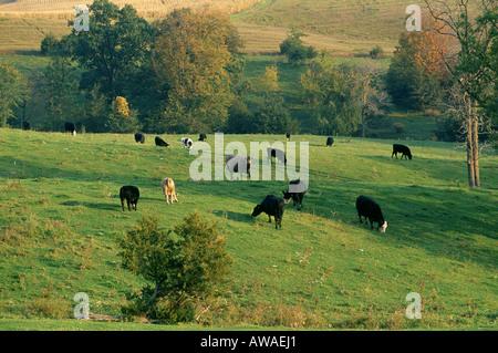 MIXED BREED COW CALF HERD GRAZING ON FALL PASTURE NORTHEAST IOWA - Stock Photo