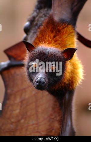 Giant Fruit Bat. - Stock Photo