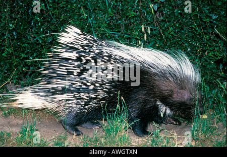 CRESTED PORCUPINE HYSTRIX CRISTATA EUROPE animal animals burrower burrowers CRESTED CRISTATA EUROPE european fauna - Stock Photo