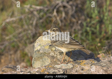 Crested Lark Galerida cristata perched on rocks near nest site in Lesvos, Greece in April. - Stock Photo