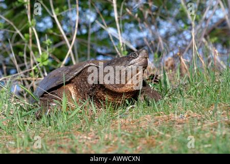 Large Snapping Turtle from Seney Wildlife refuge - Stock Photo