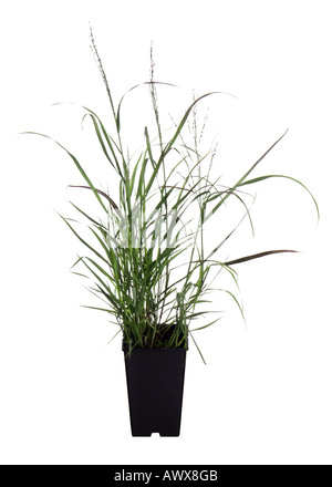 woollygrass, Japanese Blood Gras (Imperata cylindrica), cv. Red Baron, potted plant - Stock Photo