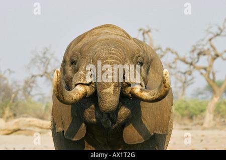 Trinking african elephant (Loxodonta africana) at a waterhole, Savuti, Chobe Nationalpark, Botswana, Africa - Stock Photo