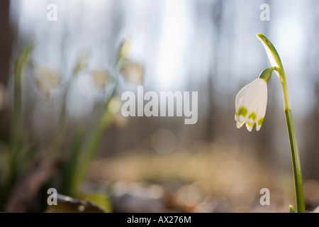 Spring Snowflake (Leucojum vernum) growing in a riparian forest - Stock Photo