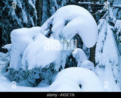 Norway spruce Picea abies with snow Oberaegeri Switzerland - Stock Photo