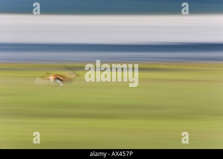 Motion blurred Thompson's Gazelle running in the Ngorongoro Crater of Tanzania - Stock Photo