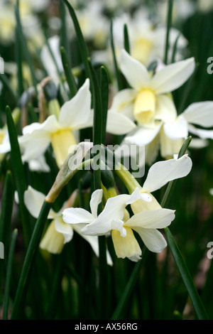 NARCISSUS TOTO AGM - Stock Photo