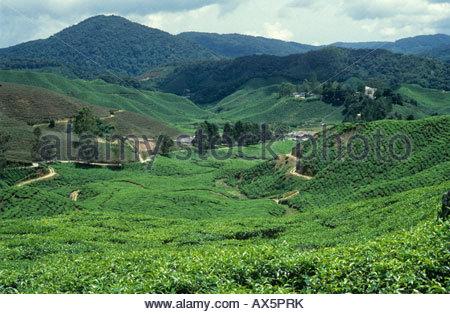 Tea plantation in the Cameron Highlands Malaysia - Stock Photo