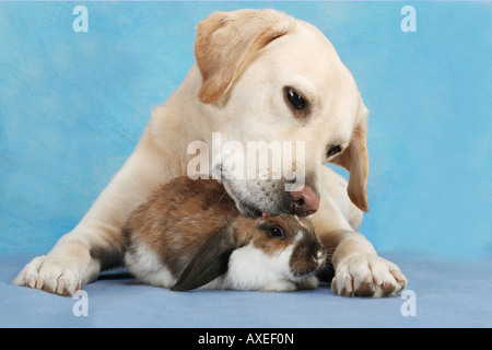 animal friendship : Labrador Retriever and lop-eared dwarf rabbit - Stock Photo
