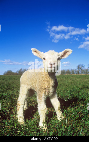 Domestic sheep. Single lamb standing on a meadow - Stock Photo