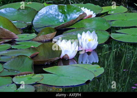 water-lilies in pond - Stock Photo