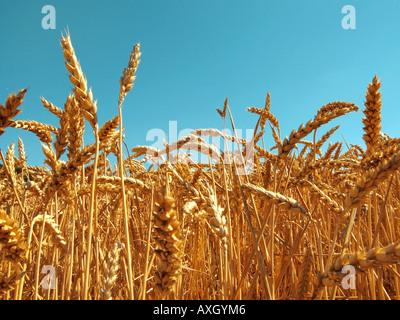 wheat Weizenähren - Stock Photo
