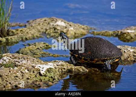 Florida Turtle resting on rocks located in the Everglades Florida USA. - Stock Photo