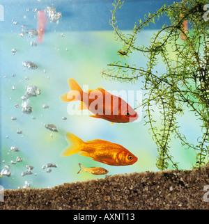 two goldfishes and cub / Carassius auratus - Stock Photo