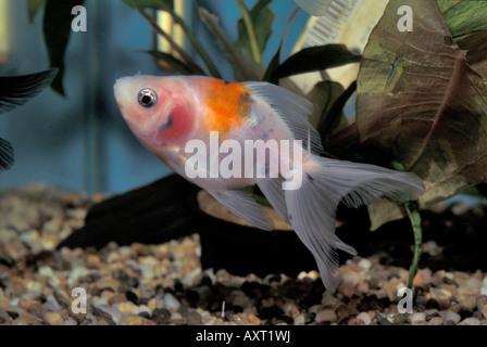 Goldfish 'Oranda', Carassius auratus, freshwater fish, Ciprinidae - Stock Photo