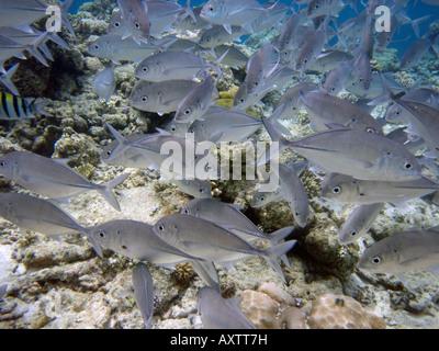 Shoal of Fish [Bandos Island Reef, Kaafu Atoll, Maldives, Asia]                                                 - Stock Photo